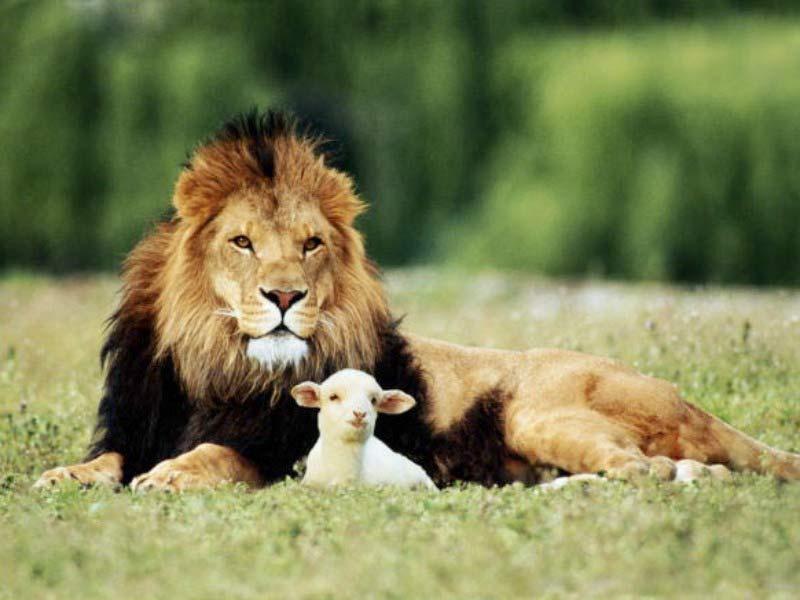 Singa dan Kambing